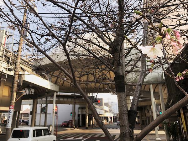 下関の桜も、もうすぐ見ごろを迎えます