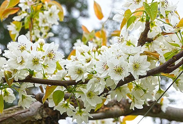 梨の花は4月に咲く